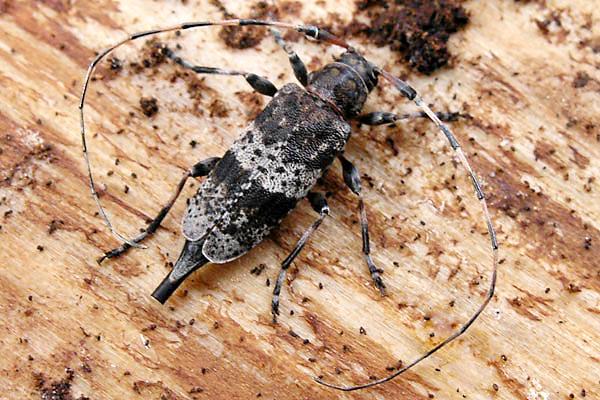 Acanthocinus griseus, female