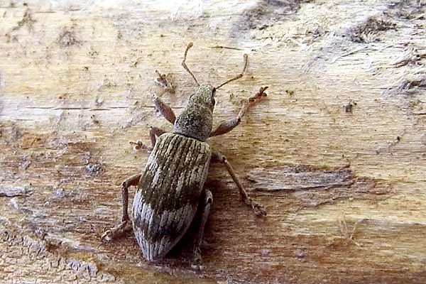 Polydrusus tereticollis (undatus)